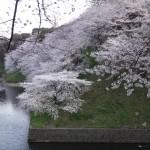 桜の季節がきましたね~
