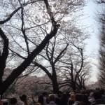 東京の桜の名所の一つ「千鳥ヶ淵」+α