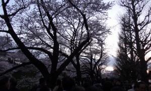 昼の桜に魅了されて、夜桜を!(上)~千鳥ヶ淵~