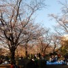 満開までもう少し、隅田公園「桜まつり」(下)