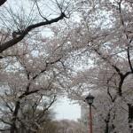 外堀公園の桜