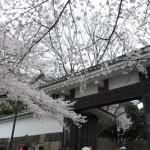満開の千鳥ヶ淵の桜!